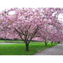10 Semillas Cerezo Japònes Prunus Serrulata Àrbol Ornamental