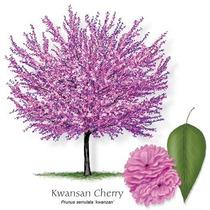 35 Semillas Cerezo Japones Prunus Serrulata Àrbol Ornato