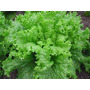 1 Lb De Semillas Lactuca Sativa Black Seeded Simpson 410-a