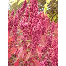 1 Lb. De Semillas Organica Huauhzontle - Chenopodium 180-a
