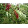 Cerezo Comun (prunus Virginiana) 10 Semillas