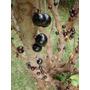 10 Semillas Guapurú O Jaboticabo Myrciaria Cauliflora