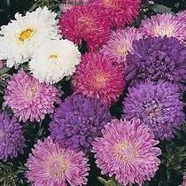 Aster Queen Doble Mix 20 Semillas Flores Jardín Planta Sdqro