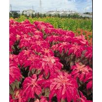 Amaranto Molten Fire 10 Semillas Flores Jardín Planta Sdqro