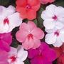 Belen Imapciente Mix 20 Semillas Flor Jardín Sdqro