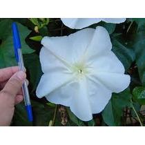 Ipomea Alba Nocturna 5 Semillas Flor Gigante Jardín Sdqro