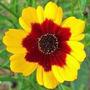 Coreopsis Bicolor 20 Semillas Flor Jardín Planta Sdqro