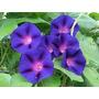 Ipomea Purpurea 15 Semillas Flor Jardín Sdqro