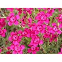 Maiden Pinks 15 Semillas Flor Sdqro