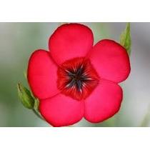 Linaza Roja 10 Semillas Flor Sdqro Lino Rojo Flor Grande