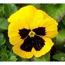 Pensamiento Amarillo 20 Semillas Flor Jardín Sdqro