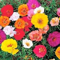 Portulaca Doble Mix 30 Semillas Flor Jardín Sdqro