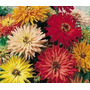Zinnia Cactus Mix 10 Semillas Flores Planta Sdqro