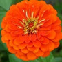 Zinnia Orange King 10 Semillas Flores Planta Sdqro