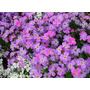 Virginia Stock Malcomia 20 Semillas Flores Planta Sdqro