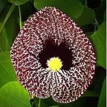 Aristolochia Elegans 5 Semillas Jardín Flores Planta Sdqro