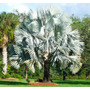 10 Semillas Bismarckia Nobilis Palma Azul Plateada Rara