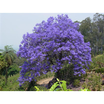 100 Semillas Tarco Jacaranda Mimosifolia Exelente Bonsai