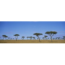 Poster (69 X 23 Cm) Acacia Trees On A Landscape Maasai Mara