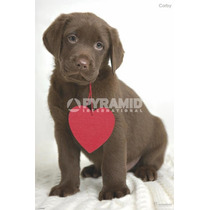 De Brown Labrador Poster - Corby Rachael Hale Perrito Animal