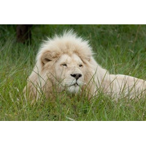 Africano León Inkwenkwezi Privado Juego Reserva Oriente
