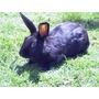 Vendo O Cambio Conejo Azteca Color Negro Macho Urge!!!
