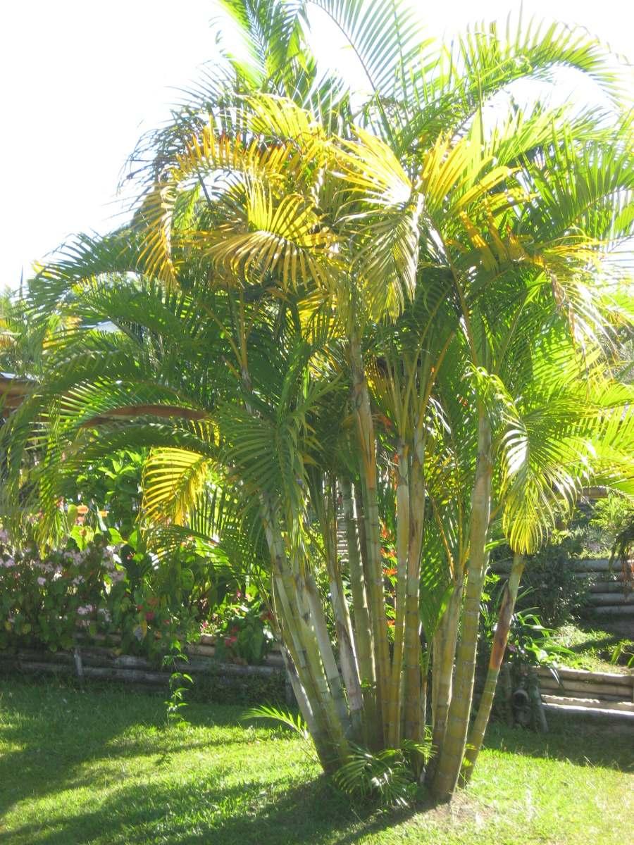 Semillas de palmera areca hermosa en for Palmeras de exterior
