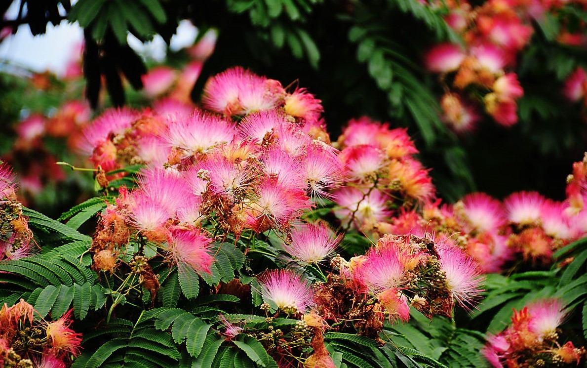 Conoc is un rbol lindo para plantar a un peque o jard n for Arboles de flores para jardin