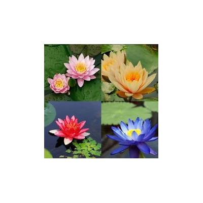 Nymphaea mix 4 semillas raspar semillas jardiner a sdqro for Jardineria queretaro