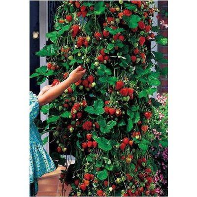 Fresa roja trepadora 15 semillas sol jardineria sdqro en for Jardineria queretaro